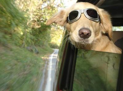 jak przewozić psa samochodem