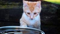 czy koty lubią wodę